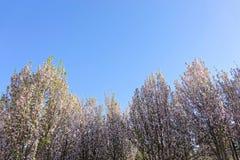 Frühling Malus micromalus Stockfotos