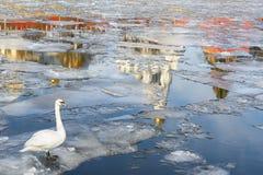 Frühling in Moskau. Schwan, der auf eine Eisscholle schwimmt Lizenzfreie Stockfotografie