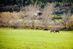 Frühling Pferde auf Weide dorf lizenzfreies stockfoto