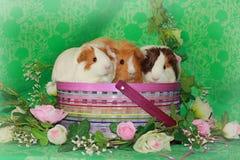Frühling Piggies Stockbild