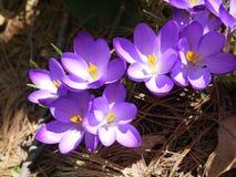 Frühling: purpurroter Krokus im Sonnenlicht Lizenzfreies Stockfoto