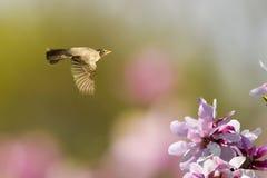 Frühling Robin im Flug Stockfotos
