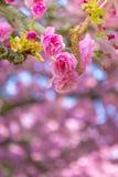 Frühling Sakura Blossom Trees Lizenzfreie Stockfotografie