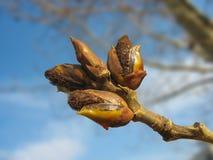 Frühling. Schmelzende Pappelknospen gegen blauen Himmel lizenzfreies stockfoto