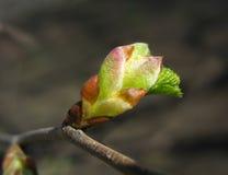 Frühling. Schmelzende Ulmenknospe Stockfotografie