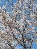 Frühling in Seoul u. in x28; Süd-Korea& x29; stockfoto