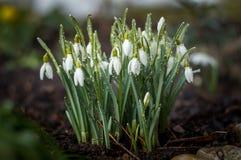 Frühling snowdrop Blumen Lizenzfreie Stockfotos