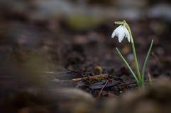 Frühling snowdrop Blumen Lizenzfreie Stockfotografie