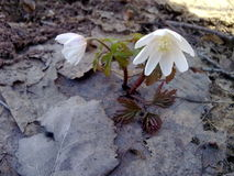 Frühling snowdrops Lizenzfreie Stockfotografie