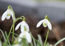 Frühling snowdrops Lizenzfreies Stockbild