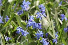 Frühling snowdrops Blumen Stockfotos