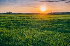 Frühling Sun, der über landwirtschaftlicher Landschaft des grünen Weizen-Feldes scheint Lizenzfreies Stockbild