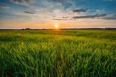 Frühling Sun, der über landwirtschaftlicher Landschaft des grünen Weizen-Feldes scheint Lizenzfreies Stockfoto