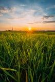 Frühling Sun, der über landwirtschaftlicher Landschaft des grünen Weizen-Feldes scheint Stockbild