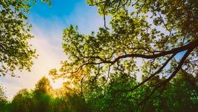 Frühling Sun, der durch Überdachung der hohen Eiche scheint Stockbild