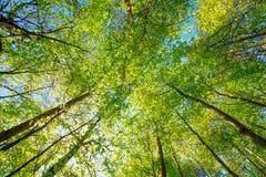 Frühling Sun, der durch Überdachung des hohe Baum-Holzes scheint tageslicht Lizenzfreies Stockbild