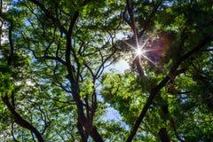 Frühling Sun, der durch Überdachung des hohen Baums scheint Lizenzfreies Stockfoto
