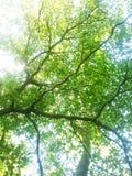 Frühling Sun, der durch Überdachung des hohen Baums scheint Sonnenlicht in Deci Lizenzfreie Stockbilder
