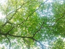 Frühling Sun, der durch Überdachung des hohen Baums scheint Sonnenlicht in Deci Stockfotografie