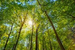 Frühling Sun, der durch Überdachung von hohen Bäumen scheint Lizenzfreie Stockfotografie