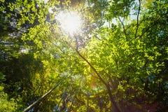 Frühling Sun, der durch Überdachung von hohen Bäumen scheint Sonnenlicht in tropischem Lizenzfreies Stockfoto
