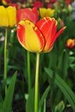 Frühling Tulip Flower lizenzfreies stockfoto