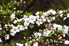 Frühling werden mit Kirschblüte Stockfoto