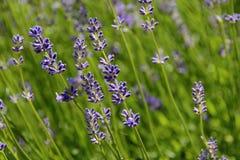 Frühlinge der Lavendel-Blüte, Tschechische Republik, Europa Lizenzfreie Stockfotografie