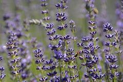 Frühlinge der Lavendel-Blüte und der Biene, Tschechische Republik, Europa Stockfotos