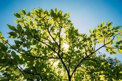 Frühlings-Überdachung des hohe Baum-Holzes Sonnenlicht im tropischen Wald, Stockbild