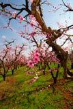 Frühlings-Apple-Blüten Stockbilder