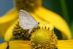 Frühlings-Azurblau lizenzfreies stockbild