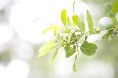 Frühlings-Beeren auf Baum mit sparkly Hintergrund Stockbilder