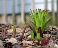 Frühlings-Betriebskeimung Stockbild