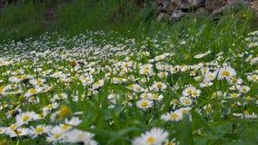 Frühlings-Bienen auf Zeitlupe der Gänseblümchen-02 stock footage