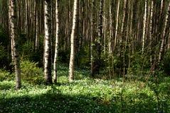 Frühlings-Birken-Wald mit Windflowers Lizenzfreie Stockbilder