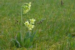 Frühlings-blühende Primel im Gras Stockfoto