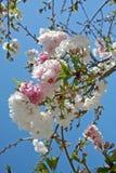 Frühlings-Blüten Stockbild