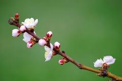 Frühlings-Blüten Stockfotos