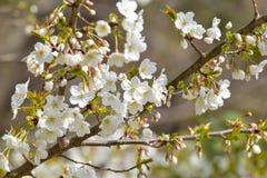 Frühlings-Blütenblumen auf Niederlassung Stockfotos
