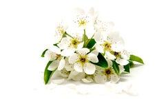 Frühlings-Blütenkirschblume whiteed an auf weißem Hintergrund lizenzfreies stockfoto
