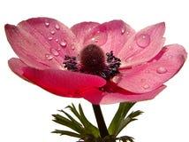 Frühlings-Blume Lizenzfreie Stockfotos