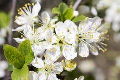 Frühlings-Blumen auf einem Baum lizenzfreie stockfotos