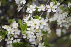 Frühlings-Blumen auf einem Baum lizenzfreies stockbild