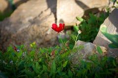 Frühlings-Blumen in der Wüste Stockfoto