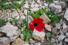 Frühlings-Blumen in der Wüste Lizenzfreie Stockbilder
