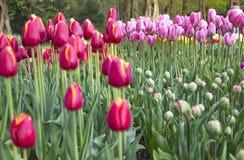 Frühlings-Blumen in Keukenhof-Garten, die Niederlande stockbild