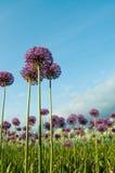 Frühlings-Blumen und blauer Himmel Stockfotografie