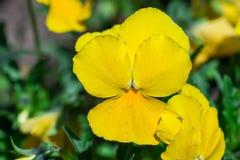 Frühlings-Blumenanlage der gelben Viola dreifarbige im Park stockbild