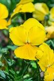 Frühlings-Blumenanlage der gelben Viola dreifarbige im Park stockfoto